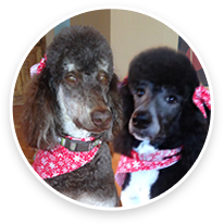 Animal Eye Specialty Center Poodles